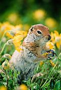 Alaska. Denali NP. Arctic ground squirrel (Spermophillus perryii) in Lessing's arnica.