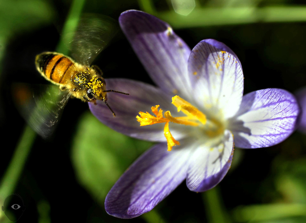 A bee covered in pollen approaches a crocus bloom.