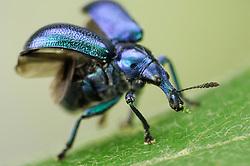 Weevil (Byctiscus betulae), The Biosphere Reserve 'Niedersächsische Elbtalaue' (Lower Saxonian Elbe Valley), Germany  | Der Rebstecher oder Rebstichler (Byctiscus betulae) gehört zu der riesigen Gruppe der vierflügeligen Insekten. Das vordere Flügelpaar ist zu harten Deckflügeln ausgebildet. Vor dem Starl klappt sie der Käfer beiseite um die darunter geschützt liegenden häutigen Flügel auszuklappen. Die Mundwerkzeuge, mit denen der Käfer Blätter zerbeißen kann, sitzen an der Spitze des rüsselartig verlängerten Kopfes.