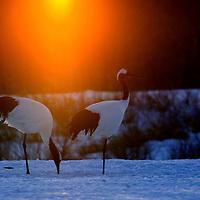 Two red-crowned crane at sunrise, Hokkaido, Japan