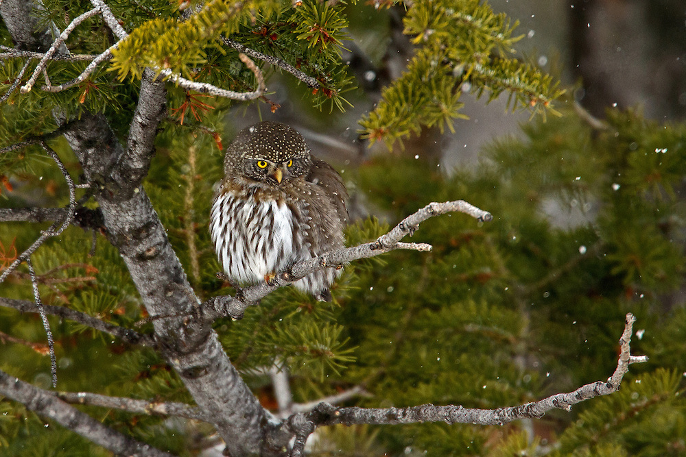 A northern pygmy-owl seeks shelter from a snow storm among the boughs of a limber pine. In the Rocky Mountain West, this tiny owl resides in conifer forests, often at altitudes as high as 12,000 feet but moves to lower elevations during winter to breed.