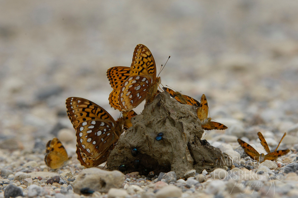 A gathering of male great spangled fritillary and northern crescent butterflies draw in nutrients - primarily amino acids and salts - from wolf scat.  Kittson County, Minnesota.