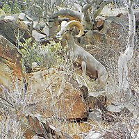 Bighorn Sheep, Baja, Mexico