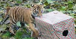 ZSL London Zoo, London, December 15th 2016. Christmas comes ten days early for the Sumatran tiger cubs at at ZSL London Zoo. Mother Melati and her two cubs Achilles and Karis wake up to Christmas presents in their enclosure and the two unruly six-month-old cubs set about opening them. PICTURED: Achilles takes another present.