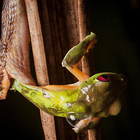 A cat-eyed snake, Leptodeira septentrionalis, eats a gliding treefrog, Agalychnis spurrelli, on the Osa Peninsula of Costa Rica