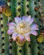 0112-1027 ~ Copyright:  George H. H. Huey ~ Organ pipe cactus [Stenocereus thurberi] in bloom at dawn.  Organ Pipe Cactus National Monument, Arizona.