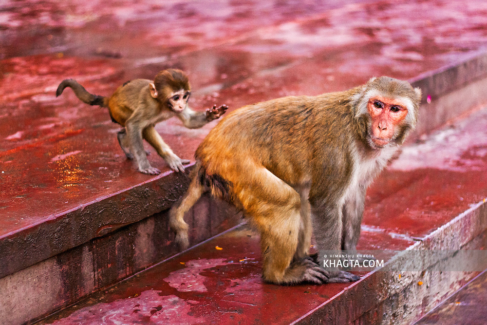 A baby monkey behind his mother monkeys in the Ghats in Mathura. A sacred town situated on the banks of Yahuman river in Uttar Pradesh, northern India. The birthplace of the deity Lord Krishna. It is a pilgrimage site for Hindus.