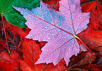 Douglas Maple Leafs, Fall Color, Mt. Baker National Forest;