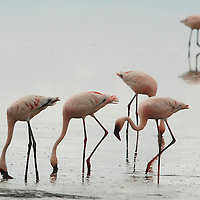 Nov. 24, 2006. LAKE NAKURU NATIONAL PARK, Kenya &nbsp;?&nbsp; The famous flamingos of Nakuru are dying, in a shrinking lake, and the cause is still to be determined. Where as many as a million flamingos tinted the surface in a pinkish tone, now hundreds of flamingo carcasses decorate the shoreline.<br />