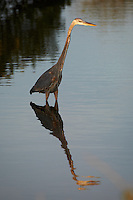 Late Afternoon Great Blue Heron Hunting.  Black Point Wildlife Road, Merritt Island Wildlife Refuge, Florida. Image taken with a Nikon D3s and 200-400 mm f/4 VR lens (ISO 200, 310 mm, f/4, 1/500 sec).