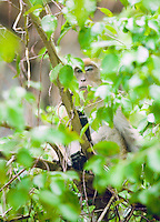 A Long-Tailed Macaque in a tree, Southern Thailand&amp;#xA;<br />