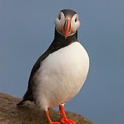 An Atlantic puffin (Fratercula arctica) stands at the top of the Látrabjarg bird cliff in Iceland, up to 440 meters (1444 feet) above the Atlantic Ocean. Látrabjarg is Europe's largest bird cliff.