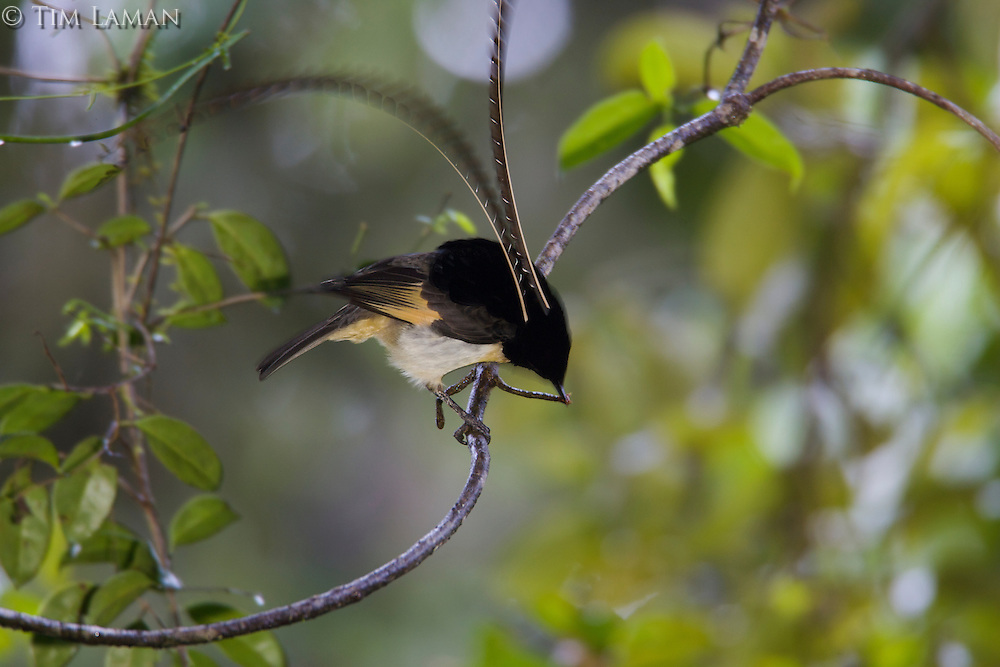 A male King of Saxony Bird of Paradies (Pteridophora alberti) on display perch..Enga Province, Papua New Guinea.