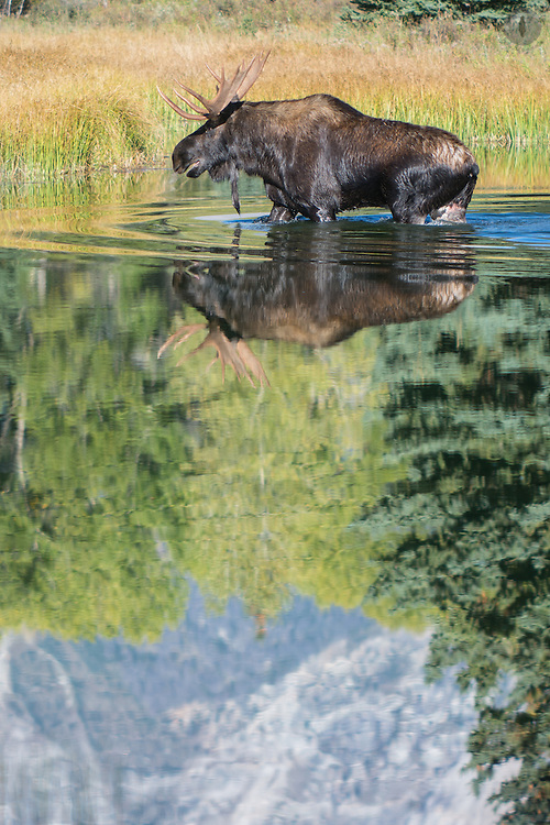 Moose wading through the river at Schwabacher's landing in Grand Teton National Park, with the mountains reflected in the water.