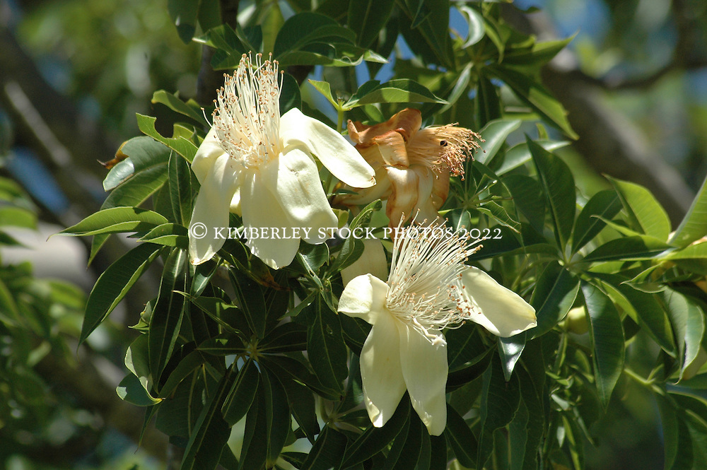 Boab flowers in bloom in Broome.