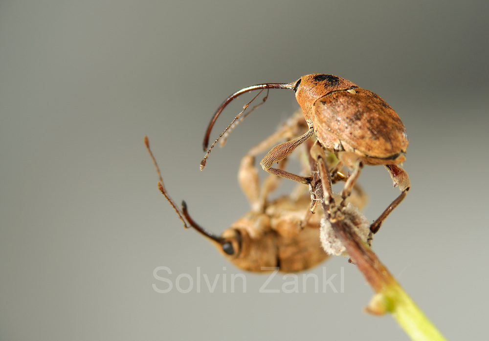 [captive] Acorn weevil (Curculio glandium) | Eichelbohrers (Curculio glandium)