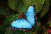 A beautiful blue butterfly rests on green foliage at the conservatory at the Calgary Zoo.<br /> <br /> &copy;2010, Sean Phillips<br /> http://www.LouiseandSean.com