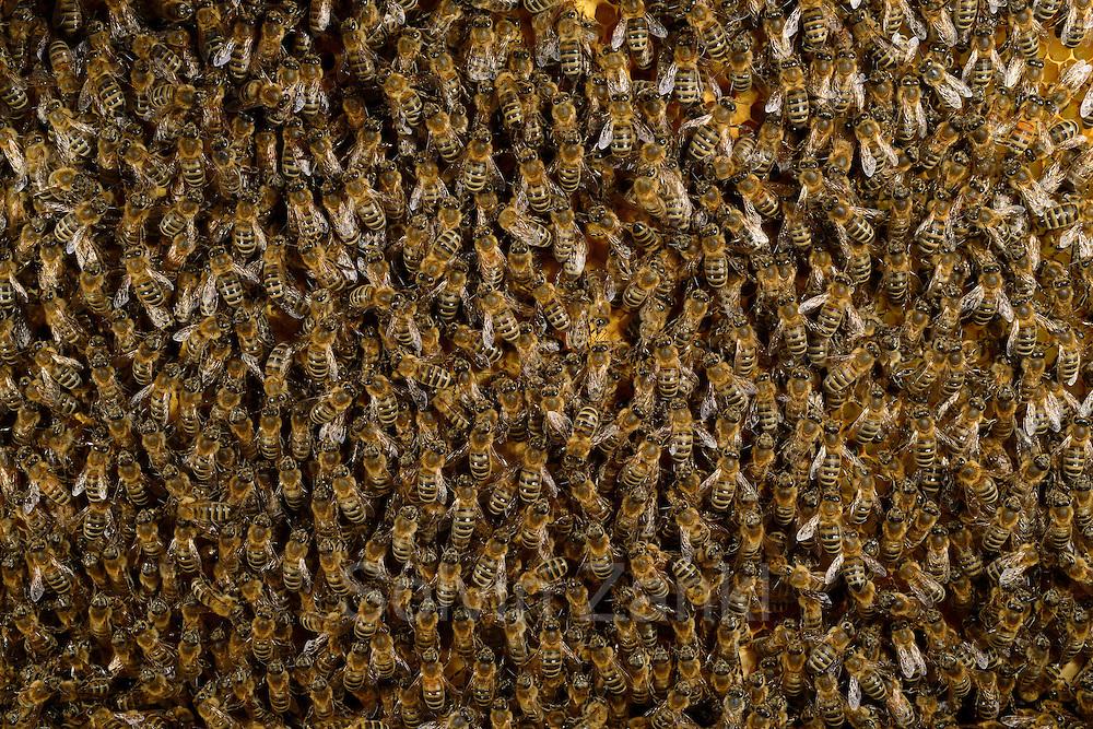 Honey bee (Apis mellifera), Kiel, Germany   Mit der Honigbiene (Apis mellifera) besetzte Brutwabe. Auf einer Wabenseite sitzen um die 600 Bienen.  Kiel, Deutschland