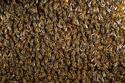 Honey bee (Apis mellifera), Kiel, Germany | Mit der Honigbiene (Apis mellifera) besetzte Brutwabe. Auf einer Wabenseite sitzen um die 600 Bienen.  Kiel, Deutschland