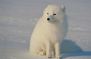 Alaska. North Slope. Arctic Fox (Alopex lagopus) posing.