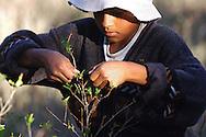 Bolivia. Dipartimento di La Paz..La foglia di coca delle Yungas viene raccolta con una tecnica particolare  volta a preservarne l'integrit&agrave;..<br /> <br /> There is a special way to recollect the coca leaves and presere their integrity job, work, agricolture