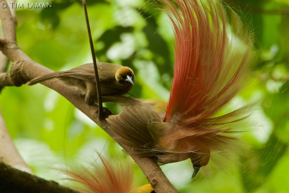 Goldie's Bird of Paradise (Paradisaea decora)<br />adult males at display site in the canopy performing their courtship display.  A female carefully inspects one of the males who holds his final static pose.