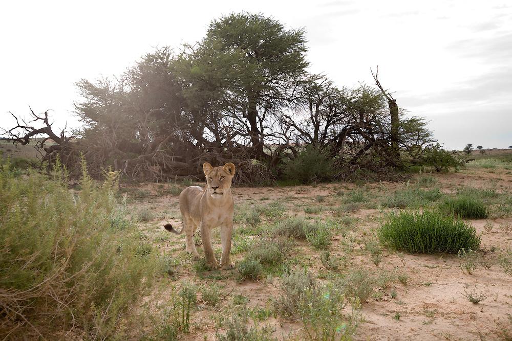 South Africa, Kgalagadi Transfrontier Park,  Lion (Panthera leo) in Kalahari Desert