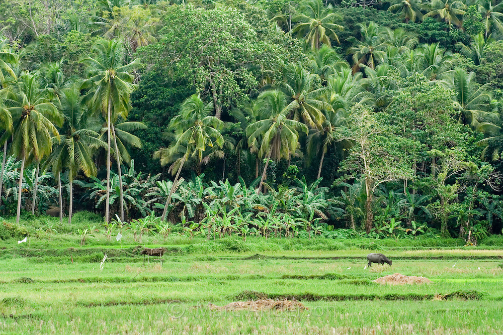 A rice paddy with a domestic water buffalo & palm trees in the background, Bohol, Philippines