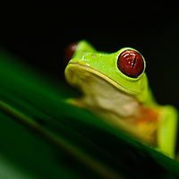 In recent years, conservation biologists have drawn our attention to a worldwide decline in wild populations of frogs, toads, and salamanders - a phenomenon that has come to be called the Global Amphibian Crisis.  While habitat loss is still considered the most serious threat to the majority of species, especially in the humid tropical forest regions of the world, a fungal disease known as chytrid has been identified as being exceptionally deadly to amphibians, while not seeming to affect other groups of vertebrates - fish, reptiles, birds and mammals. A frog-killing fungus in Central and South America spreads in waves like other infectious diseases, challenging a theory that climate change is to blame. El Valle Amphibian Rescue Center in El Valle de Anto?n en Panama?. In response to this need, the Houston Zoo established the Center in central Panama. Agalychnis callidryas.Red-Eyed Tree Frog, Red-Eyed Leaf Frog, Gaudy Leaf Frog.