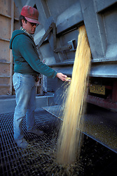 Farmer oversees unloading of yellow feed corn from truck.