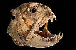 Seawolf (Anarhichas lupus) Picture was taken in cooperation with the Zoological Museum University of Hamburg   Gestreifter Seewolf (Anarhichas lupus) Das Bild entstand in Zusammenarbeit mit dem Zoologischen Museum Hamburg (ZMH); o.N.; Epipelagial 0-200m