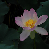 Lotus blossom in the Aquatic Gardens of Washington, DC