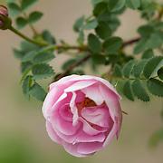 Roser - roses