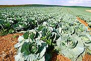 Israel, Negev, cabbage field