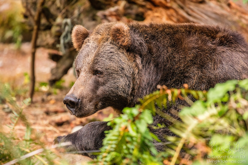 A captive grizzly bear (Ursus arctos) rests in a forested area of Washington state. Adult grizzly bear males can weigh as much as 800 pounds (360 kilograms), making the bear the largest land-based predator in the world. The grizzly bear is a brown bear, found across much of northern North America, Europe and Asia.