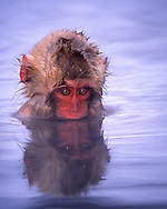 Baby Japanese macaque (snow monkey) bathing in natural hot springs, Honshu Island, Japan.