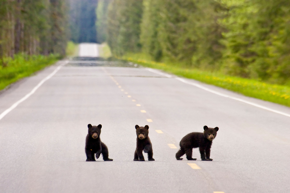 Alaska, Three cute black bear cubs cross the road in Glacier Bay.