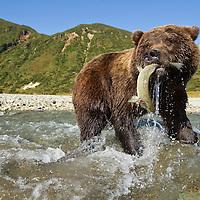 USA, Alaska, Katmai National Park, Wide-angle view of Grizzly Bear (Ursus arctos) catching spawning salmon in stream along Kinak Bay