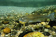 Steelhead Smolt<br />