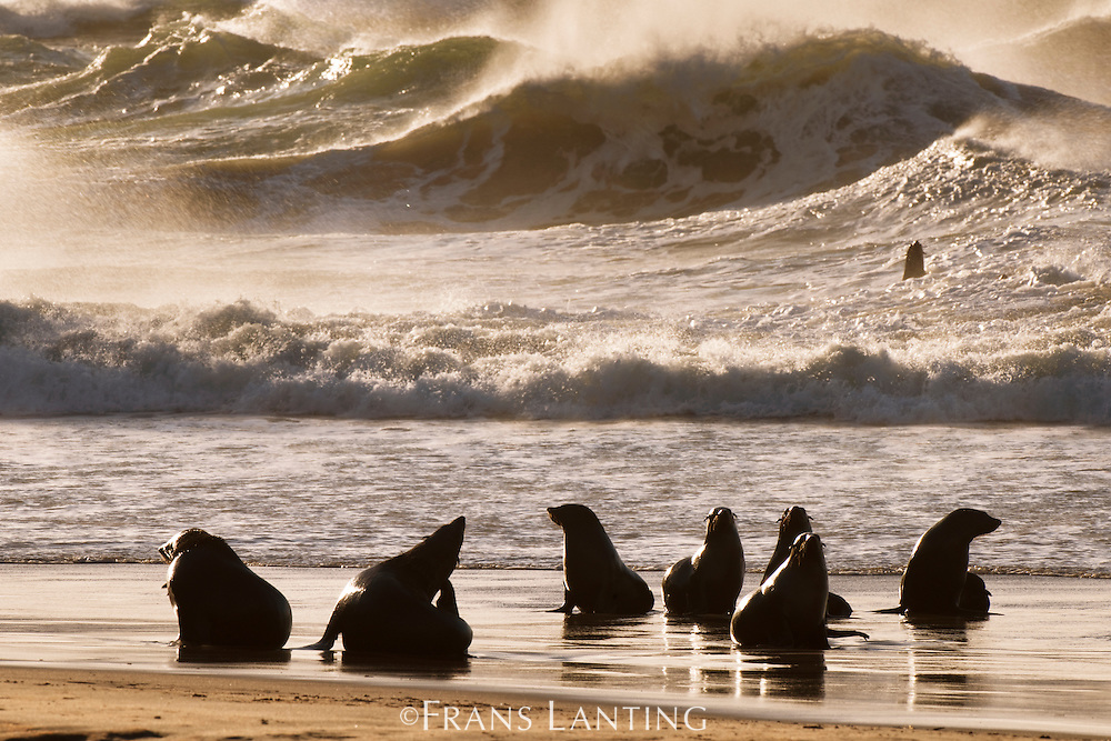 Cape fur seals at tideline, Arctocephalus pusillus, Namib-Naukluft National Park, Namibia