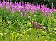 Alaska; Sandhill CRane (Grus canadensis) walking in front of a patch of fireweed (Epilobium angustifolium), Homer hillside.