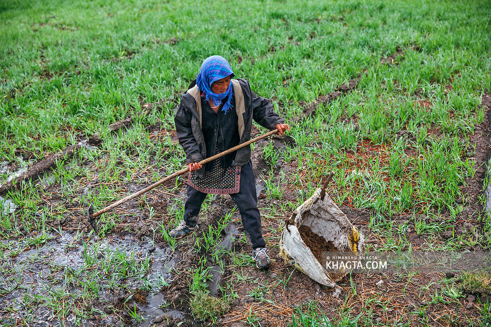 A lady from Hikkim village working on her barley field