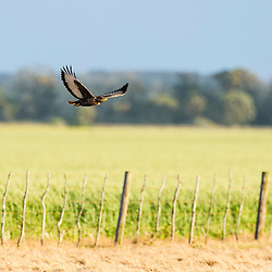 Jackal Buzzard flying low over farm fields, Overberg, Western Cape, South Africa