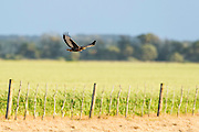 Jackal Buzzard flying low over farm fields, Overberg, Western Cape, South Africa