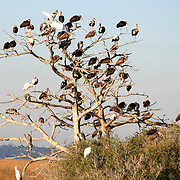 Dead Tree full of Ibis', Herons and Egrets in the salt marshes between Jekyll Island and Brunswick Georgia.