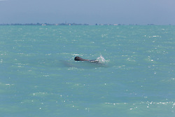 A pair of Snubfin dolphins (Orcaella heinsohni) in Roeubck Bay near Broome.