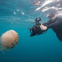 Cameraman filming a Barrel Jellyfish, Rhizostoma pulmo, Kuala Rompin, South China Sea, Malaysia,