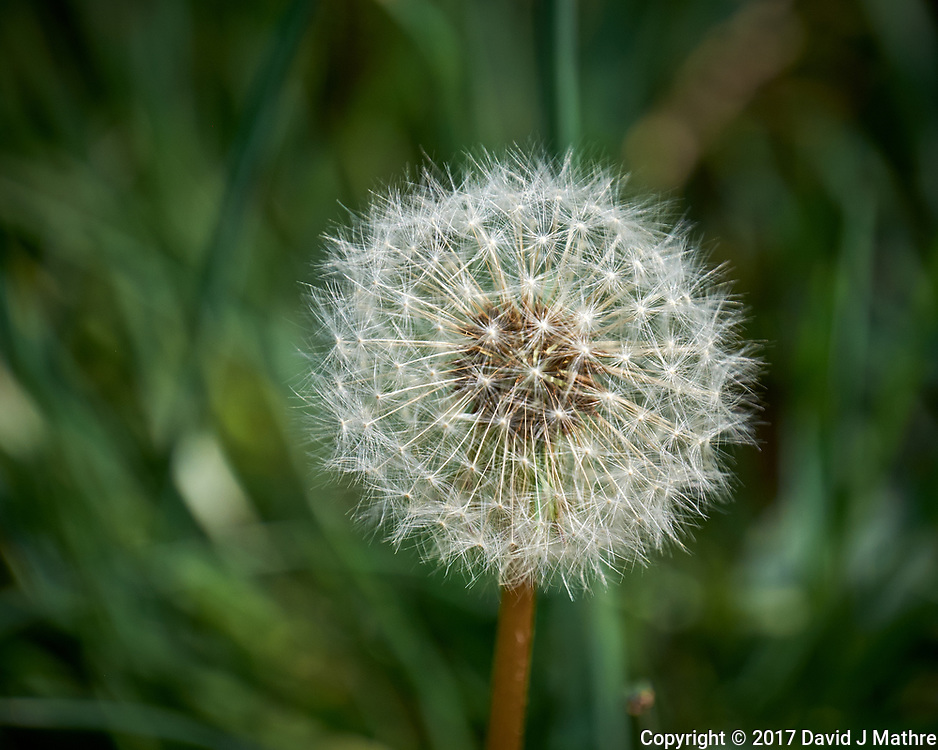 Dandelion seeds in my front yard. Spring in New Jersey. Image taken with a Fuji X-T1 camera and 100-400 mm OIS lens (ISO 200, 400 mm, f/5.6, 1/350 sec).