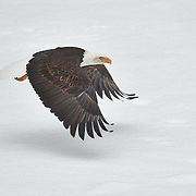 A bald eagle (Haliaeetus leucocephalus) flies low over a snow-covered gravel bar in the Nooksack River in Welcome, Washington. Hundreds of bald eagles winter in the area to feast on spawned-out salmon.