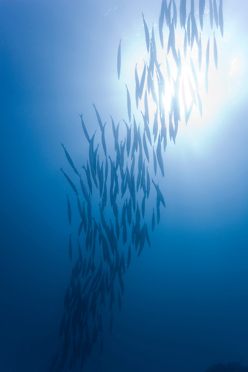 Ecuador, Galapagos Islands National Park, Isabella Island, Underwater view from schooling fish